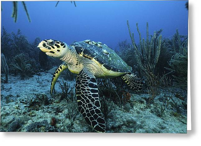 The Beauty Hawksbill Greeting Card