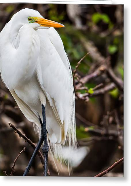 The Beauty Of A Great Egret Greeting Card by Andres Leon