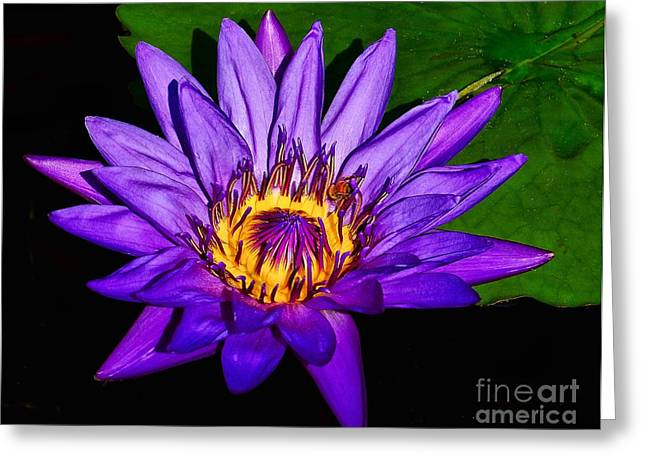 The Beauty Of A Water Liliy Greeting Card by Nick Zelinsky
