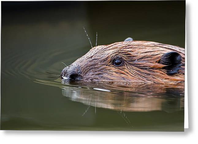 The Beaver Greeting Card by Bill Wakeley