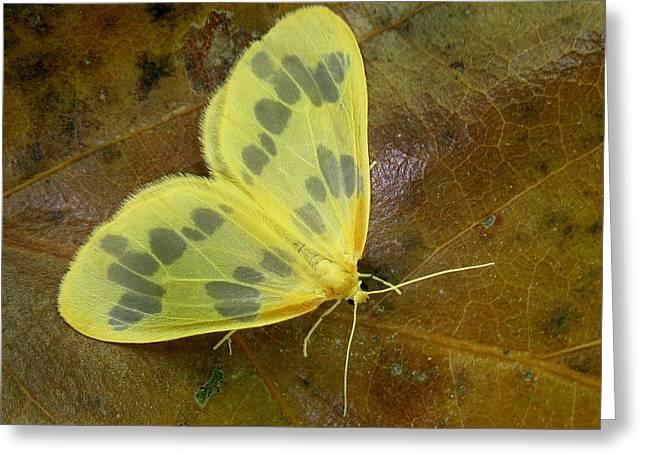 The Beggar Moth Greeting Card