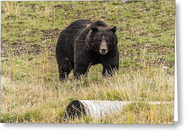 Greeting Card featuring the photograph The Big Black Grizzly Boar by Yeates Photography