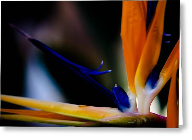 The Bird Of Paradise Greeting Card by David Patterson