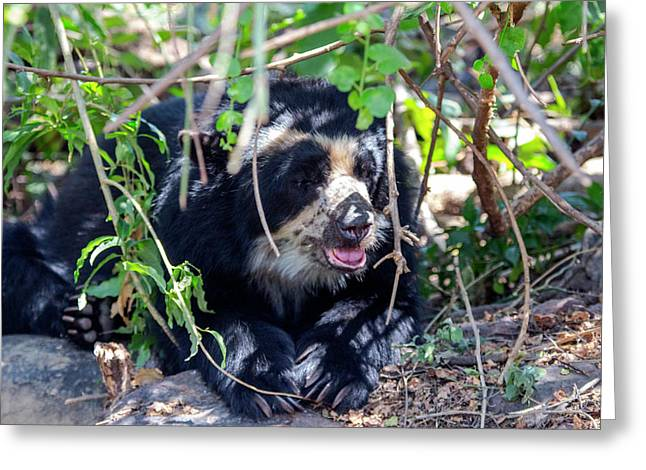 The Black Spectacled Bear Is The Only Greeting Card