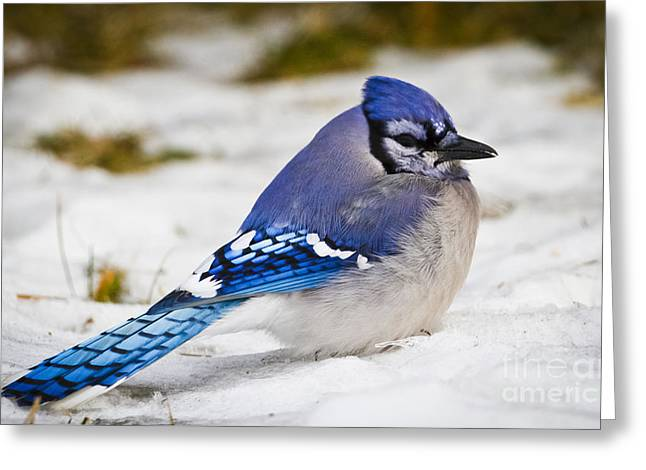 The Bluejay Greeting Card