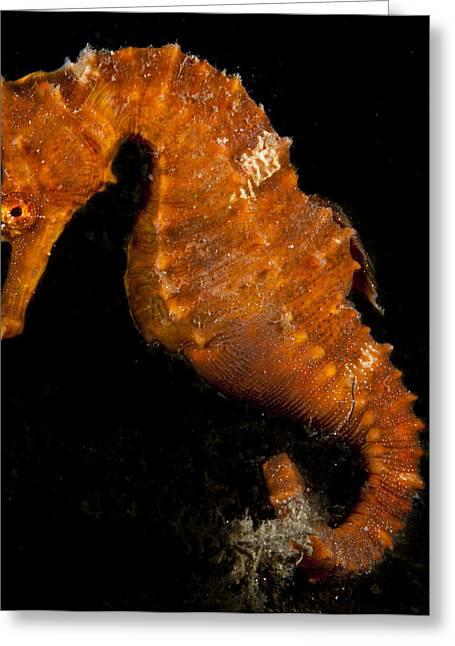 The Bright Orange Seahorse Greeting Card
