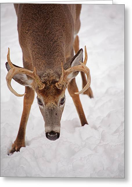 The Buck Stare Greeting Card by Karol Livote
