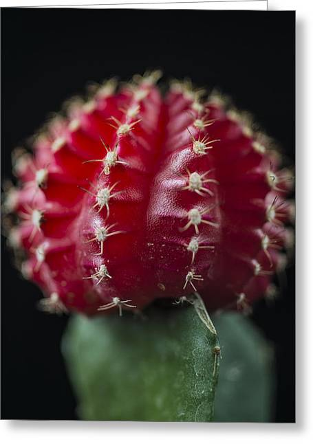 The Cactus Red Cacti Portrait Greeting Card by David Haskett
