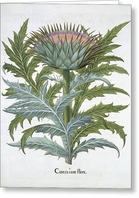 The Cardoon, From The Hortus Greeting Card by German School