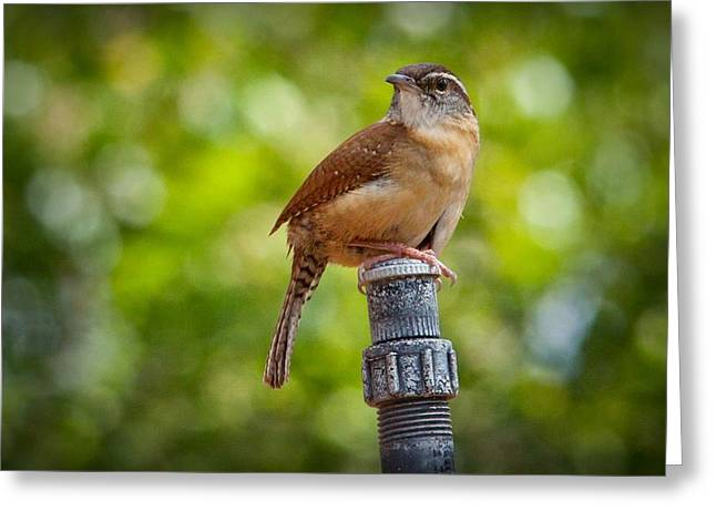The Carolina Wren Greeting Card by Linda Unger
