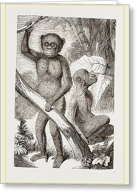 The Chimpanzee Greeting Card by Litz Collection