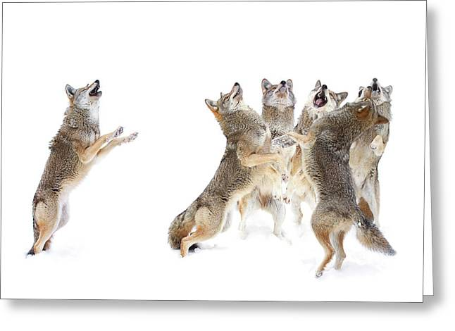 The Choir - Coyotes Greeting Card