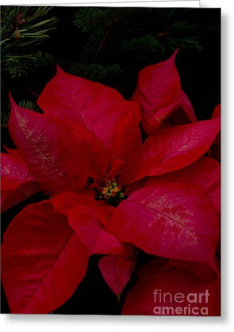 The Classic Christmas Pointsettia Greeting Card by Bill Woodstock