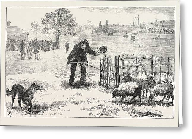 The Collie Dog Trials At The Alexandra Palace,  Penning Greeting Card