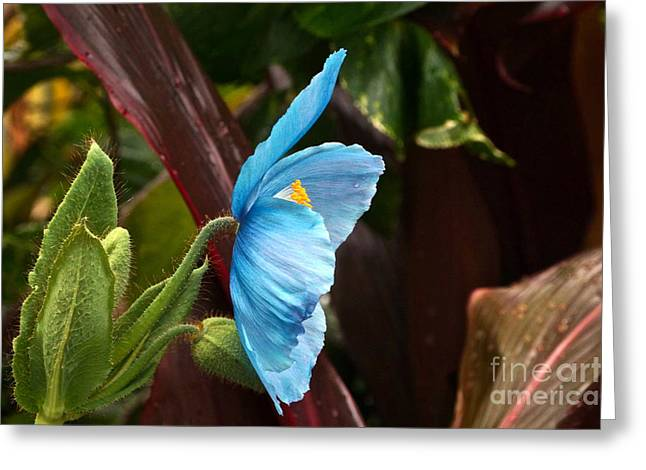 The Colors Of The Himalayan Blue Poppy Greeting Card