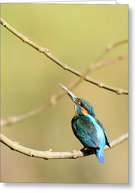 The Common Kingfisher Greeting Card