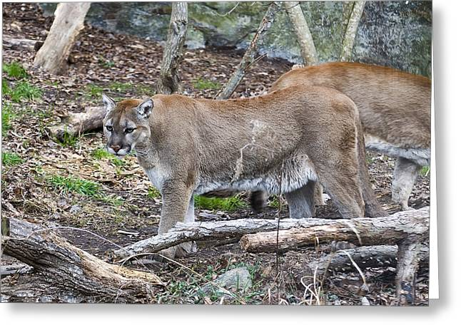 The Cougar Look Greeting Card by Chris Flees