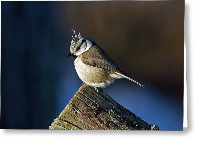 The Crested Tit In The Sun Greeting Card
