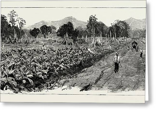 The Cultivation Of Tobacco In Sumatra, Indonesia Greeting Card by Indonesian School