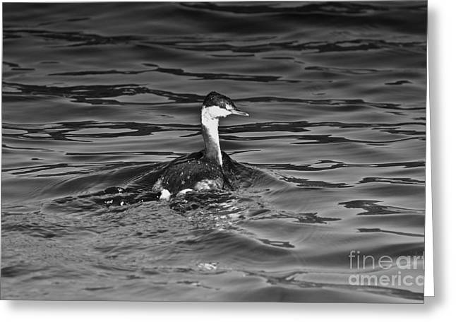 The Curious Grebe Greeting Card