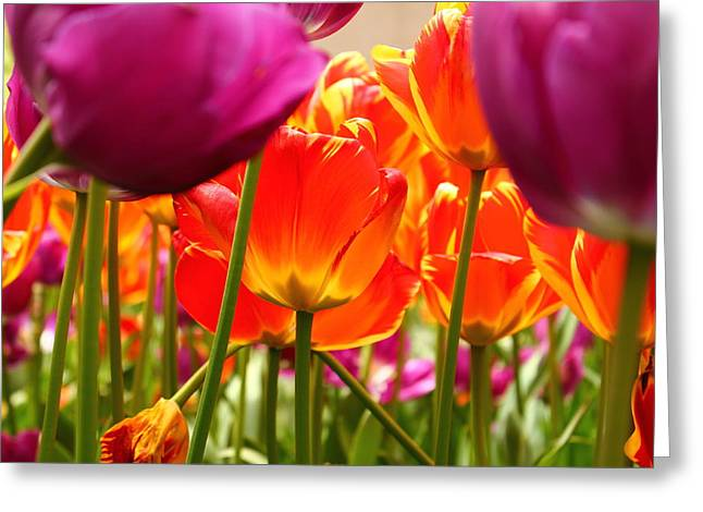 The Drooping Tulip Greeting Card