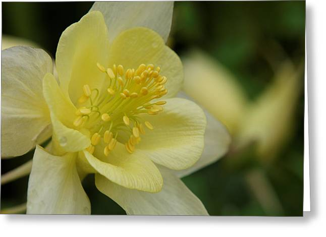 The Elegant Columbine Kissed By Rain Greeting Card