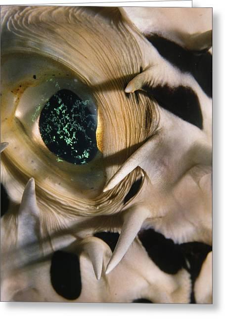 The Eye Of A Pufferfish Greeting Card