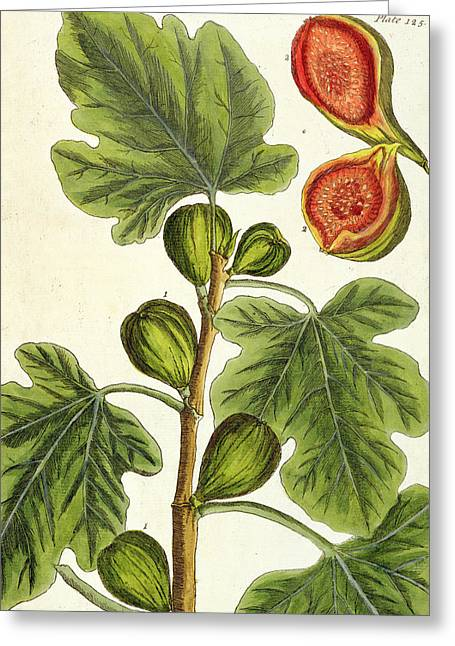 The Fig Tree Greeting Card by Elizabeth Blackwell