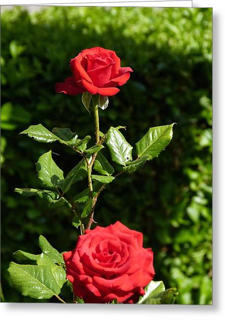 Greeting Card featuring the photograph The First Rose by Janina  Suuronen
