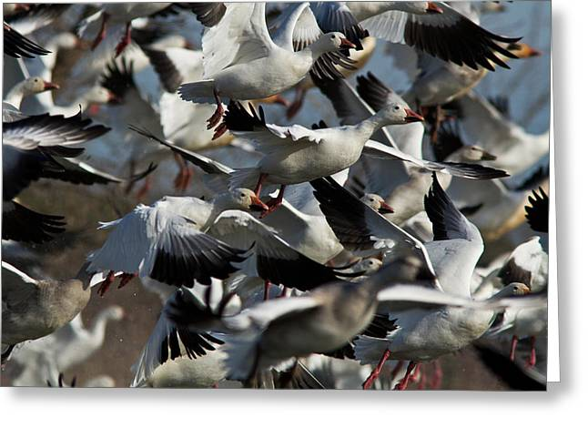 The Flock Greeting Card by Mircea Costina Photography