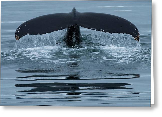 The Fluke Of A Humpback Whale Greeting Card by Michael Melford