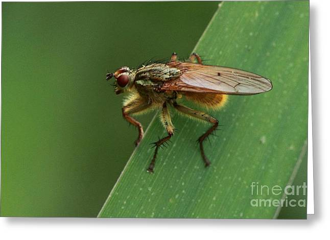 The Fly ? Greeting Card by Peter Skelton