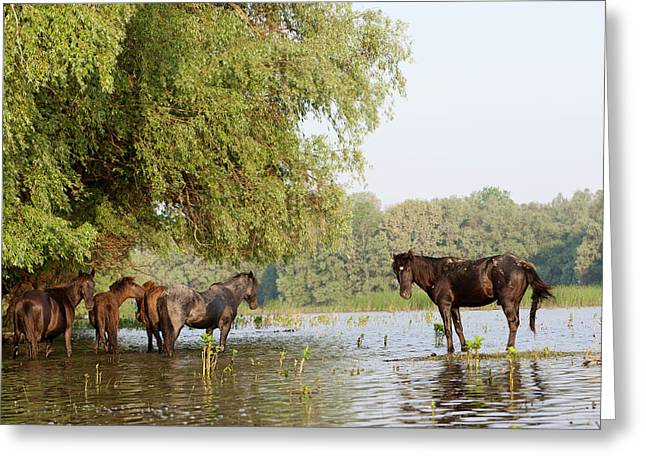 The Free Roaming Horses Of Maliuc Greeting Card