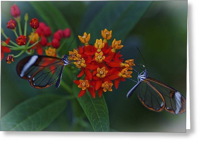 The Glasswinged Butterfly Greeting Card by Maj Seda