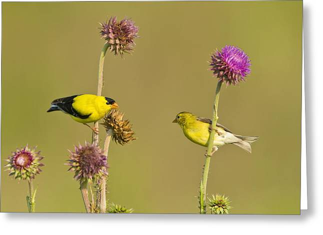 The Goldfinch Couple Greeting Card by Donna Caplinger
