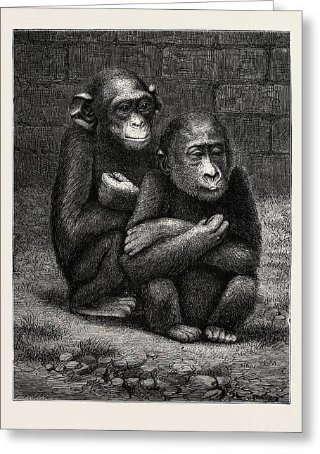 The Gorilla And Chimpanzee Exhibited At The Crystal Palace Greeting Card by English School