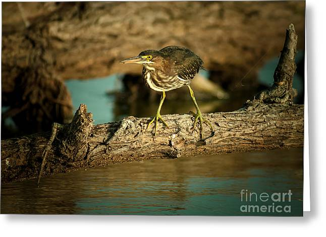 The Green Heron Greeting Card by Robert Frederick