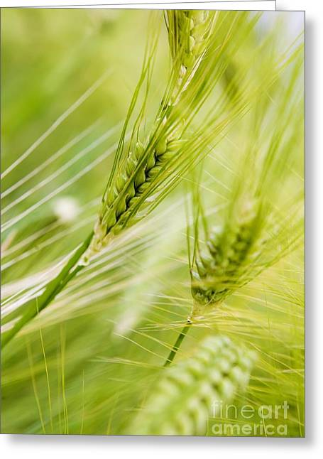 The Green Rye Beautiful Greeting Card by Boon Mee