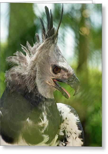 The Harpy Eagle (harpia Harpyja Greeting Card by Andres Morya Hinojosa