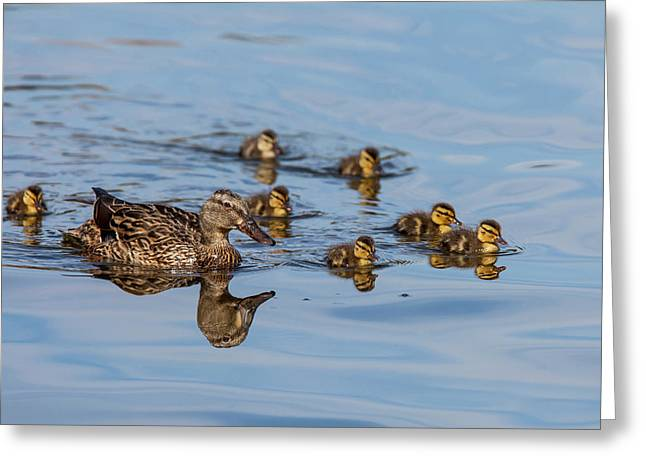 The Hen And Brood Of Young Mallard Greeting Card