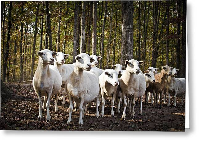 The Herd Greeting Card by Swift Family
