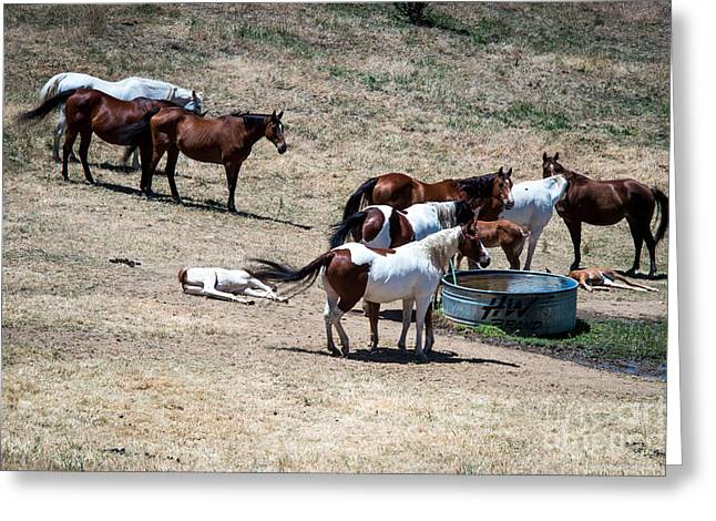 The Horses Of Placerville Greeting Card