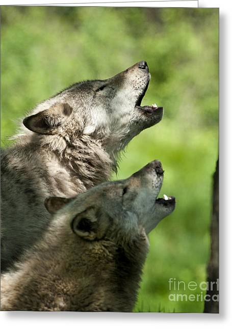 Greeting Card featuring the photograph The Howling by Wolves Only