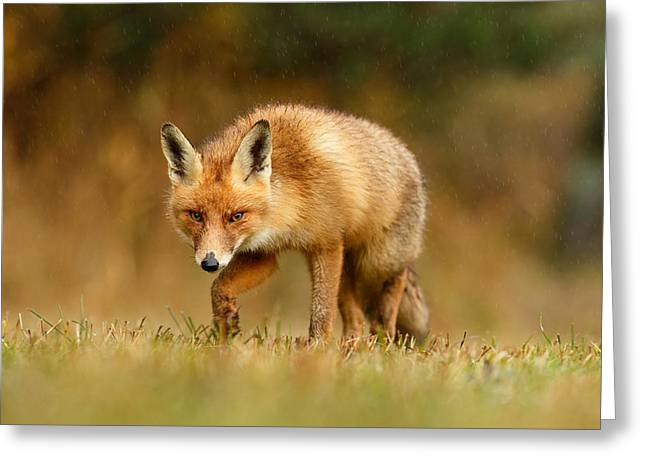 The Hunter In The Rain - Red Fox On A Rainy Day Greeting Card by Roeselien Raimond