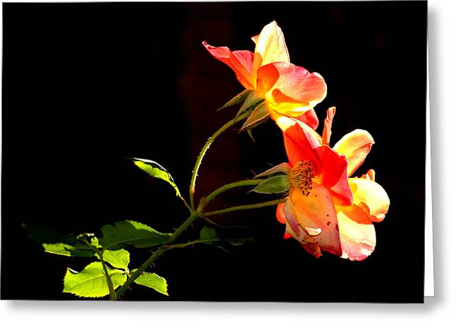 Greeting Card featuring the photograph The Illuminated Rose by AJ  Schibig