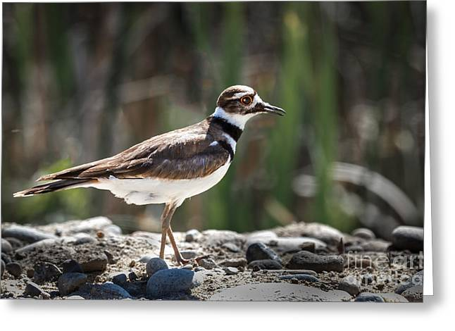 The Killdeer Greeting Card