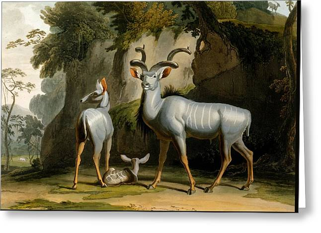 A Kudus Or Kudu Greeting Card by Samuel Daniell