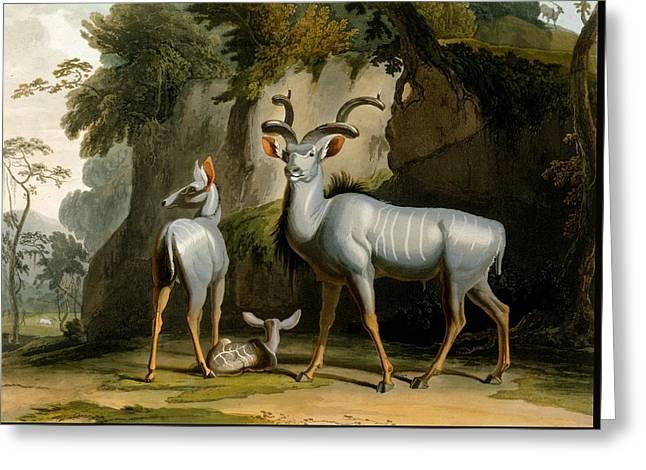 A Kudus Or Kudu Greeting Card