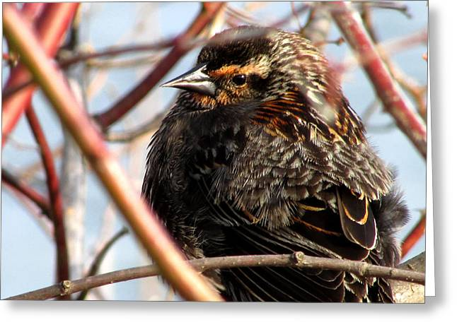 Greeting Card featuring the photograph The Lady Blackbird by Kimberly Mackowski
