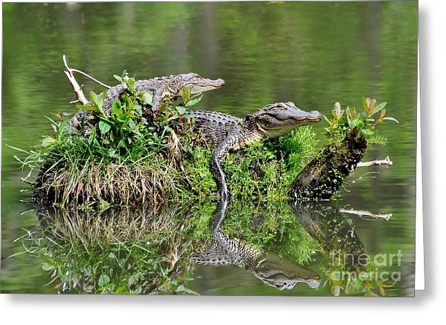 Greeting Card featuring the photograph The Lazy Gators by Kathy Baccari